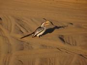 Tento druh ptáka nám dělal společnost v celé Botswaně,  fanda ho málem i 2x sejmul autem